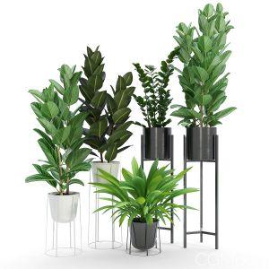 Set Ficus