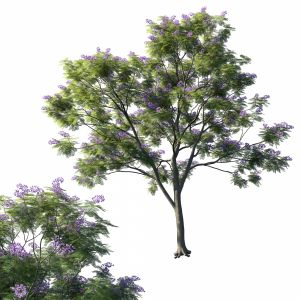 Jacaranda Mimosifolia Tree