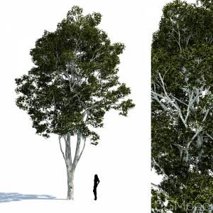 Paperbark Tree - Melaleuca Quinquenervia