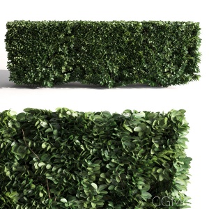 Buxus Microphylla - 3 Modular Pieces