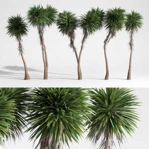 Cabbage Tree - Cordyline Australis - Large02