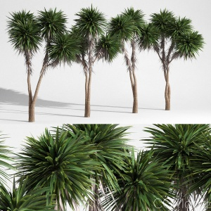 Cabbage Tree - Cordyline Australis - Large