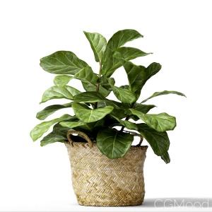 Ficus Lyrata Min