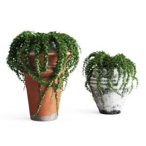 Ivy In Pots