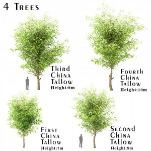 Set Of China Tallow ( Triadica Sebifera ) Trees