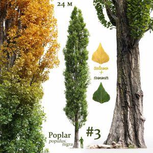 Poplar Populus Nigra #3