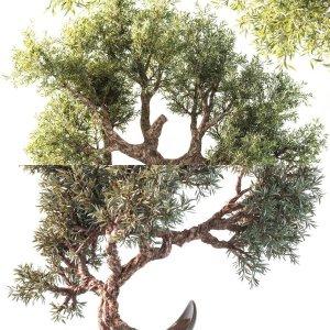 olive tree&plant