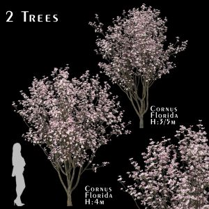 Set Of Cornus Florida Trees (flowering Dogwood) (2