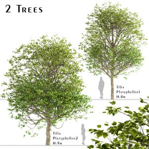 Set Of Tilia Platyphyllos Trees ( Linden Tree)