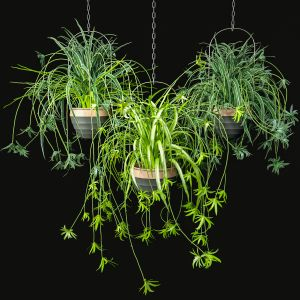 Spider Plants Set