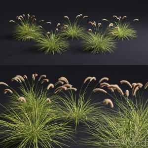 pennisetum fox tail