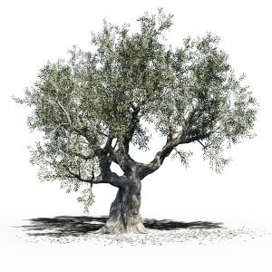 Olea Europea (olive Tree)