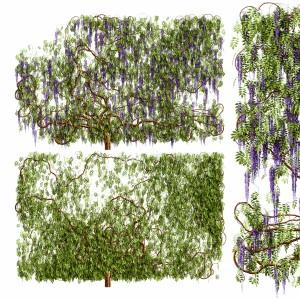 Wisteria Plant, Wisteria Wall