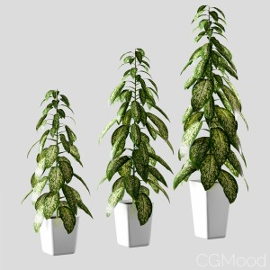 Plant In The Pot. Dieffenbachia. 3 Models