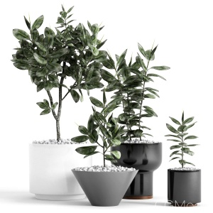 Plants And Planters 7 (ficus Elastica)