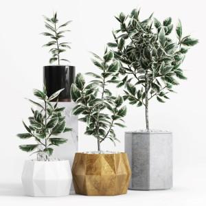 Plants And Planters 8 (ficus Elastica Variegata)
