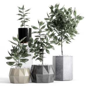 Plants And Planters 9 (ficus Elastica)