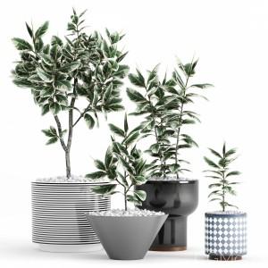 Plants And Planters 10 (ficus Elastica Variegata)