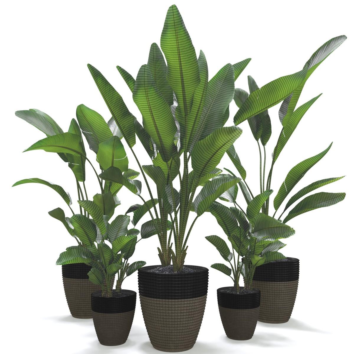Strelitzia Nicolai Plant Set - 3D Model for Corona