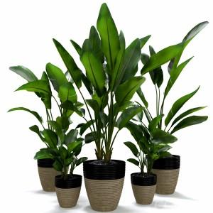 Strelitzia Nicolai Plant Set