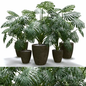 Monstera Deliciosa Plant Set