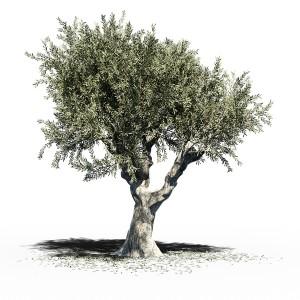 Olea Europea (olive Tree) V2