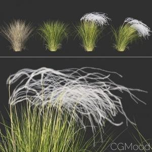 Stipa Pennata(feather Grass)